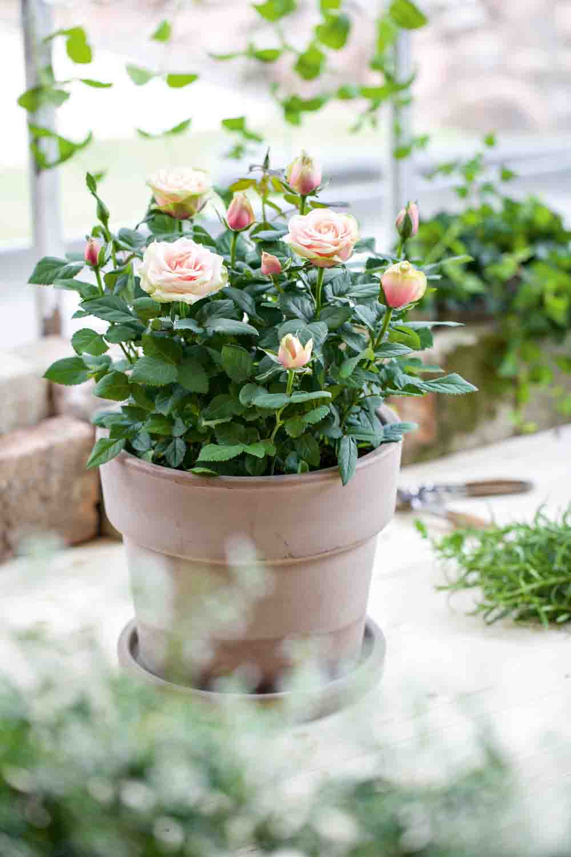 Rosa Miniatyrros-Gruppen  rosor