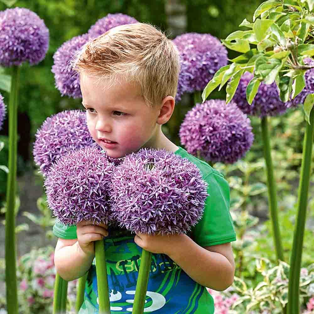 vi Allium ´Globemaster blommor