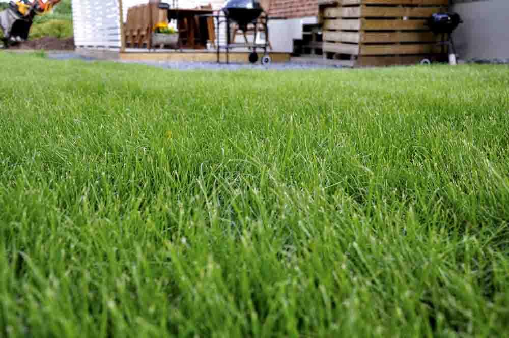 En gräsmatta från Graminea